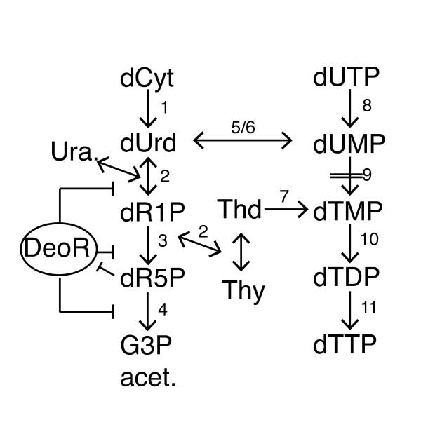 Schematics of a pyrimidine salvage pathway. Model of