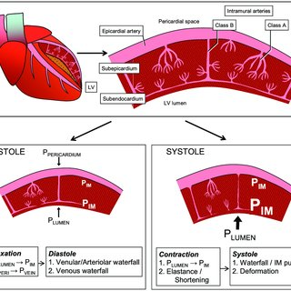 Regulation Of Coronary Blood Flow During Exercise