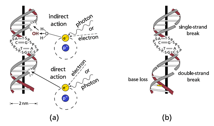 5.: (a) Direct and indirect radiation damage to the DNA