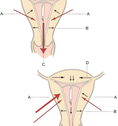 direction of uterine forces in the normal intrauterine device download scientific diagram [ 850 x 1218 Pixel ]