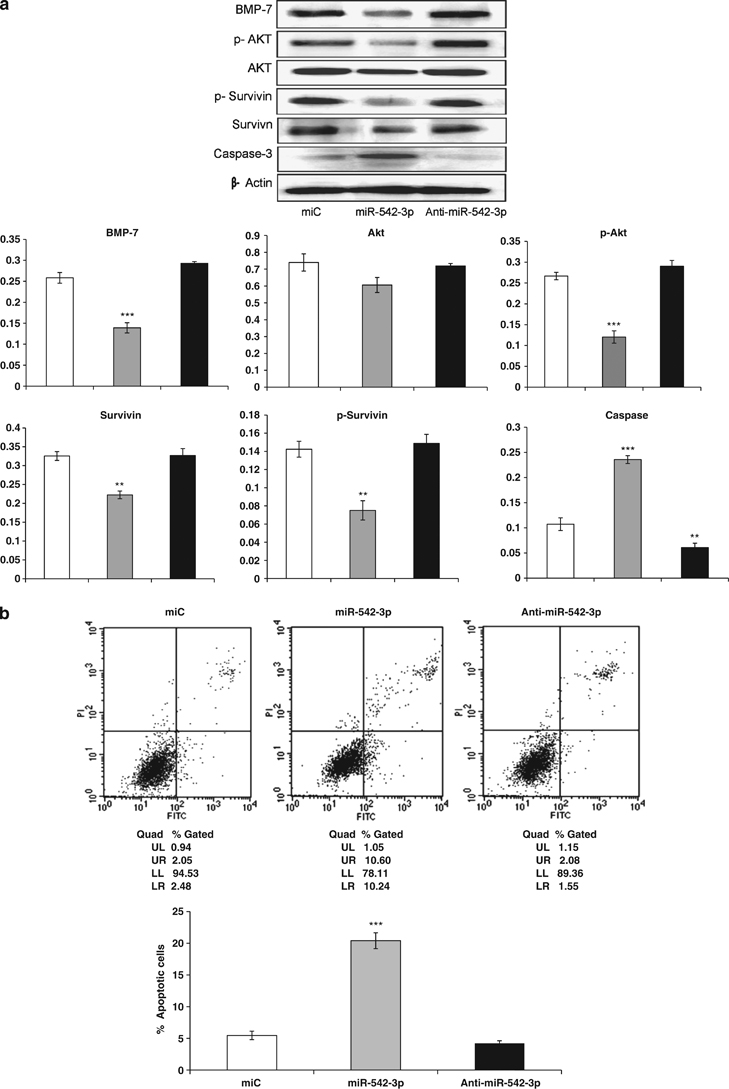 MiR-542-3p regulates BMP-7-mediated PI3K/survivin pathway