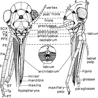 (PDF) Homologies of the head of Membracoidea based on