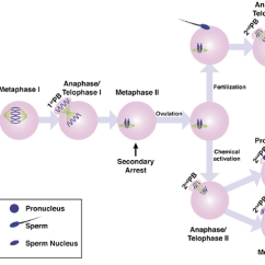 Meiosis 1 Diagram Of Eclipse The Sun Meiotic Resumption And Egg Activation In Mouse Schematic Download Scientific