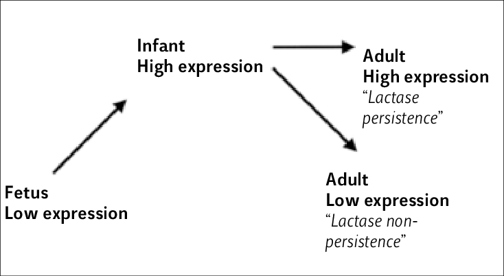 Representation of the level of lactase expression at