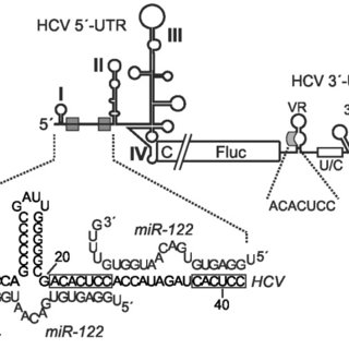 (A) Structure of the miR-122 duplex (22 nucleotides) and