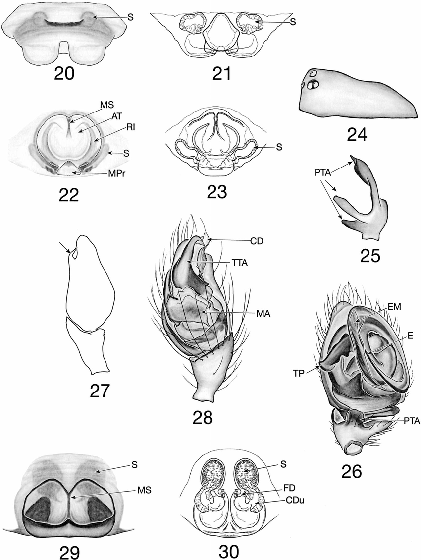 —Linyphiid and theridiid structures: 20, 21. Scyletria