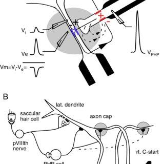 (PDF) A role of electrical inhibition sensorimotor integration