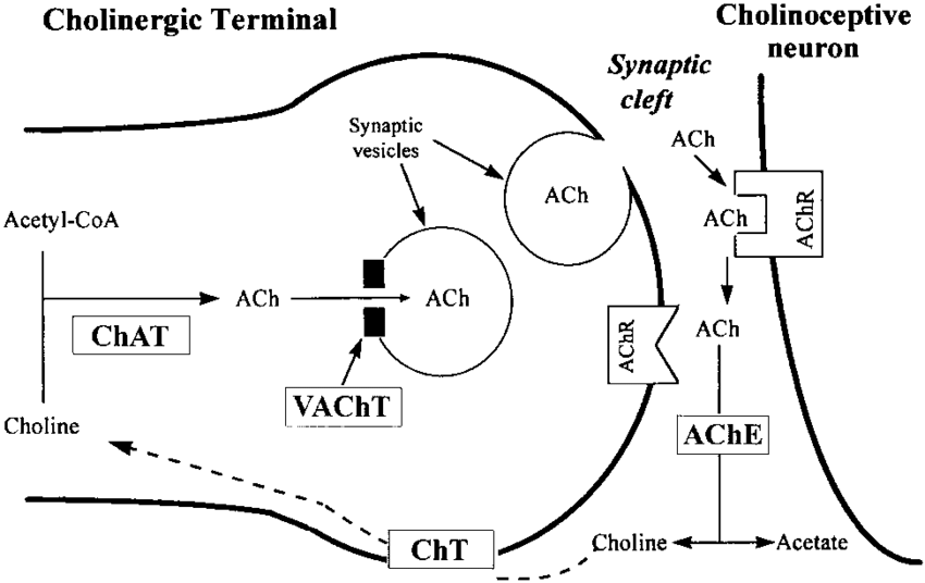 Schematic representation of acetylcholine (ACh) metabolism