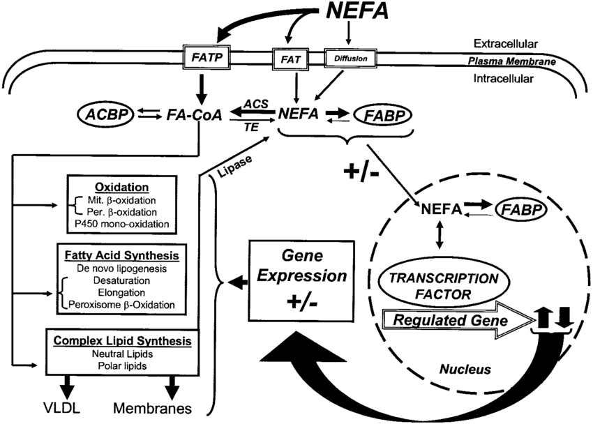 Schematic of fatty acid effects on hepatic metabolism and