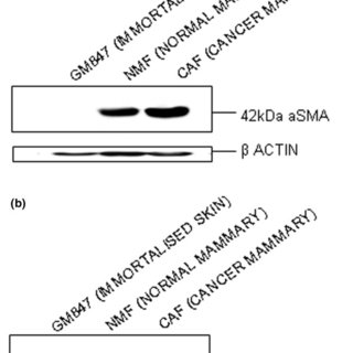 Effect of fibroblasts on major protein expression by PMC42