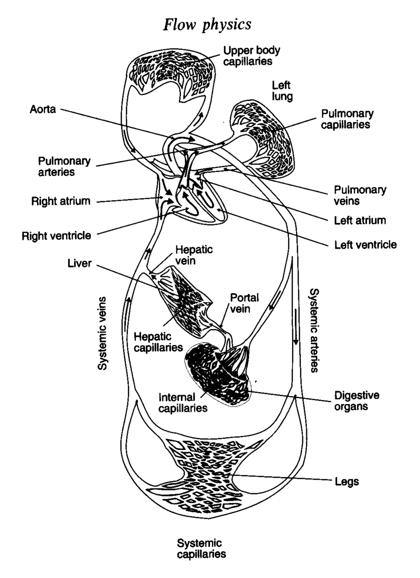 medium resolution of 1 a schematic diagram of the blood circulation system in the human body jensens 1996