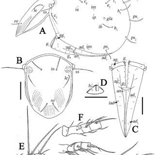 (PDF) Review of Indotritia (Acari, Oribatida