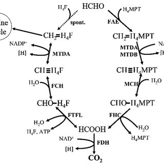 Formaldehyde assimilation metabolism in serine cycle