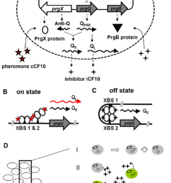 schematic drawing of gene regulation and population balance model a the gene reaction network of pcf10 based conjugation system  [ 850 x 1321 Pixel ]