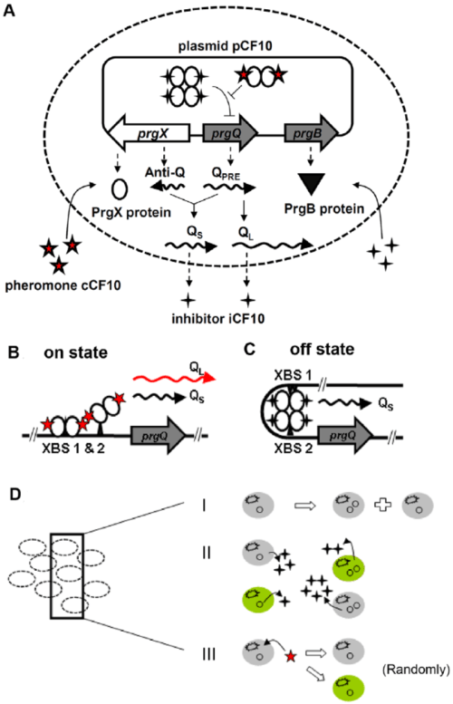 small resolution of schematic drawing of gene regulation and population balance model a the gene reaction network of pcf10 based conjugation system
