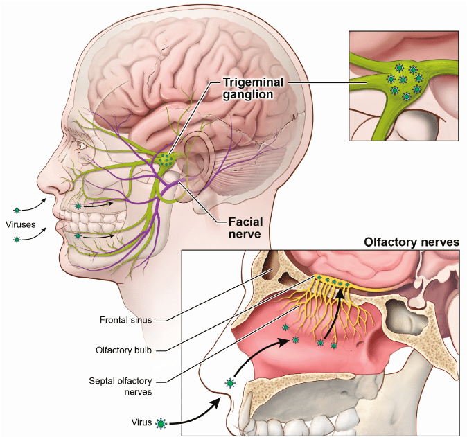 trigeminal nerve diagram capacitor wiring viral entry through olfactory and facial nerves. | download scientific