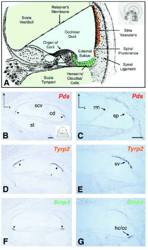 small resolution of rna in situ hybridization of pds in the mouse cochlea a annotated diagram