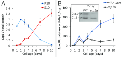 Catalase activity in wild-type yeast increases at the