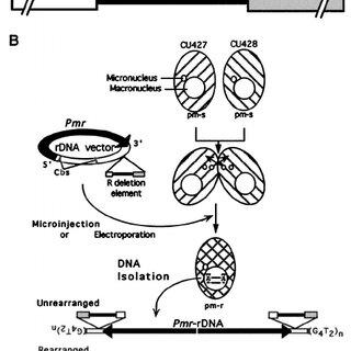 (PDF) Flanking Regulatory Sequences of the Tetrahymena R