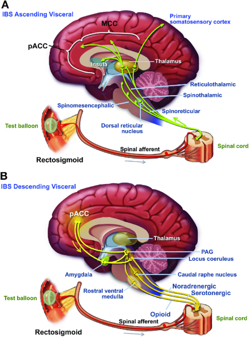 small resolution of simplified overview of ascending a and descending b neural pathways download scientific diagram