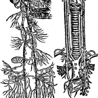 Pig prepared for vivisection. As indicated by Vesalius