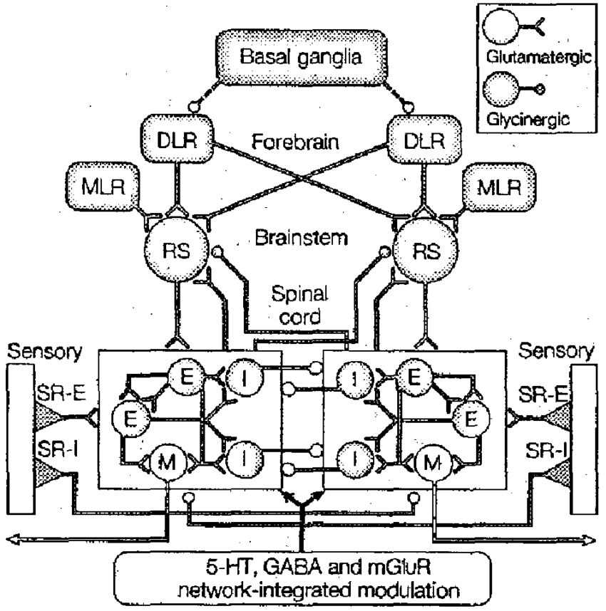 Schematic representation of the overall locomotor network