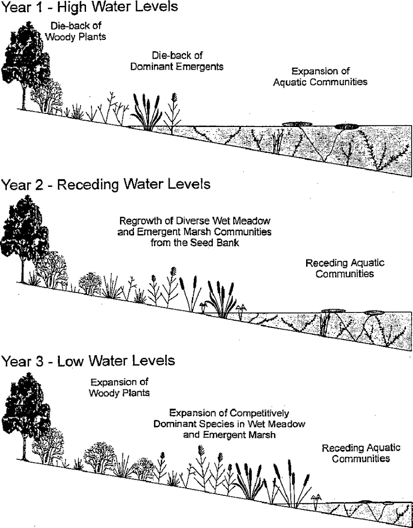 hight resolution of simplified diagram of the effects of water level fluctuations on coastal wetland plant communities of