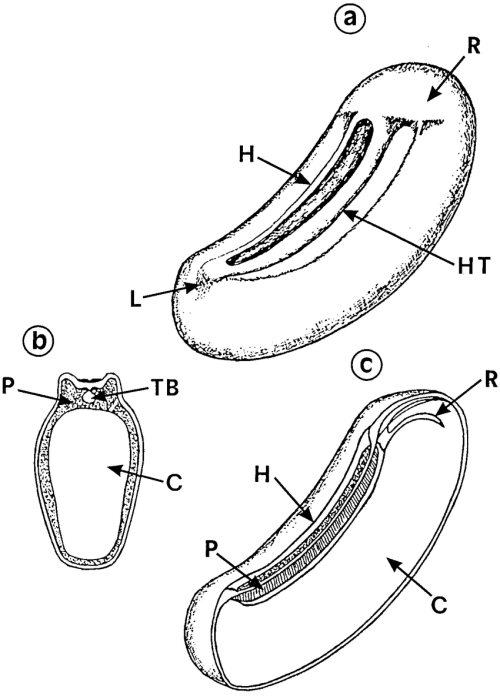 small resolution of structure of seeds of sesbania here s 6esicaria h hilum