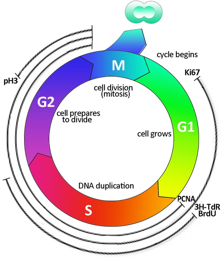hight resolution of cell cycle labelling schematic representation of the cell cycle and indication of the principal markers