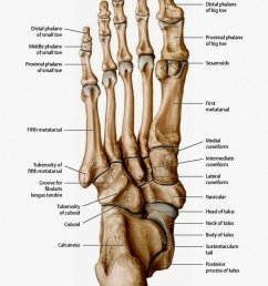 the bones in the foot inferior view picture illustrated from thieme atlas of anatomy [ 781 x 1024 Pixel ]