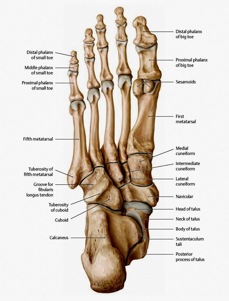 hight resolution of the bones in the foot inferior view picture illustrated from thieme atlas of anatomy