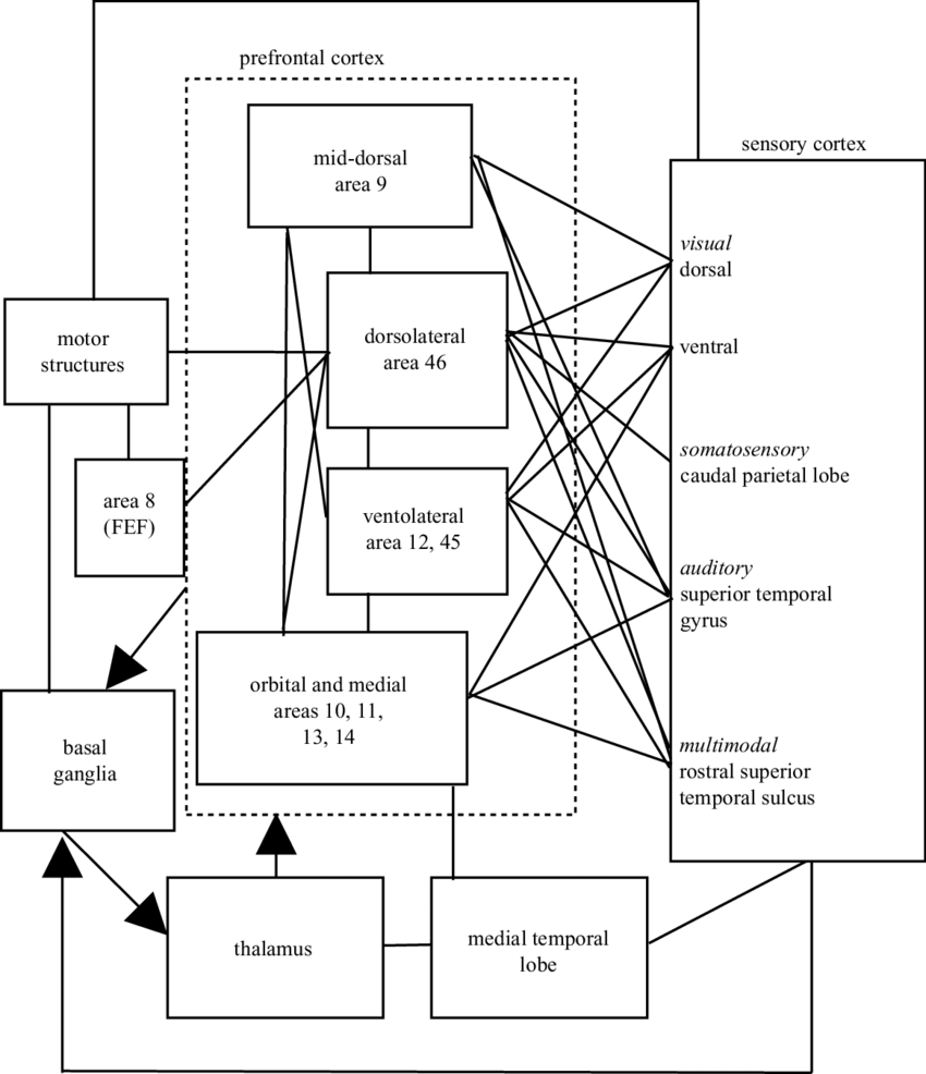 medium resolution of schematic diagram of extrinsic and intrinsic connections of the pfc most connections are reciprocal