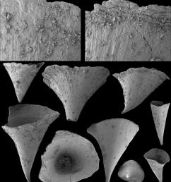 problematic calcium phosphatic sclerites fomitchella infundibuliformis missarzhevsky in rozanov et al 1969 a c [ 850 x 956 Pixel ]