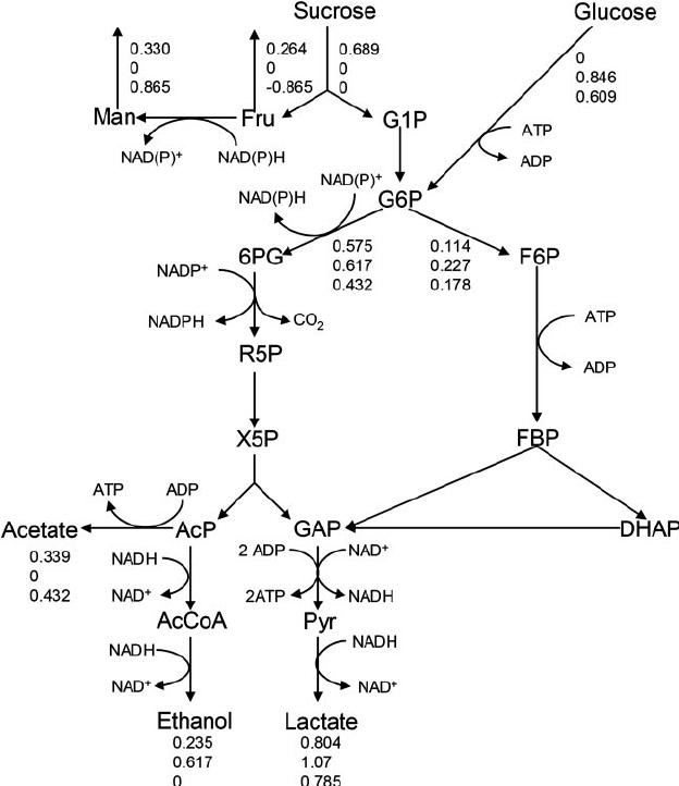 Pathways of sucrose and glucose metabolism in L. reuteri