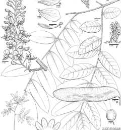 caesalpinia coulteria velutina britton rose a portion of leaf b detail of [ 850 x 1198 Pixel ]