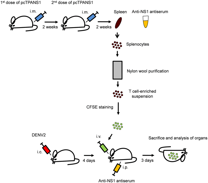 Schematic representation of T cell enrichment, CFSE