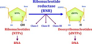 The reduction of ribonucleotides to deoxyribonucleotides