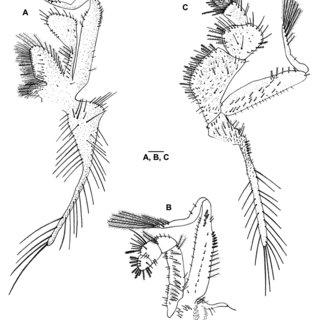 Callinectes ornatus Ordway, 1863. Juvenile I: a, first