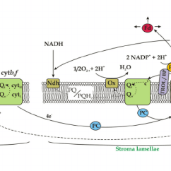 Electron Transport Chain Simple Diagram Hyundai Santa Fe Wiring Photosynthetic Transport. The Thylakoid Membrane With The... | Download Scientific