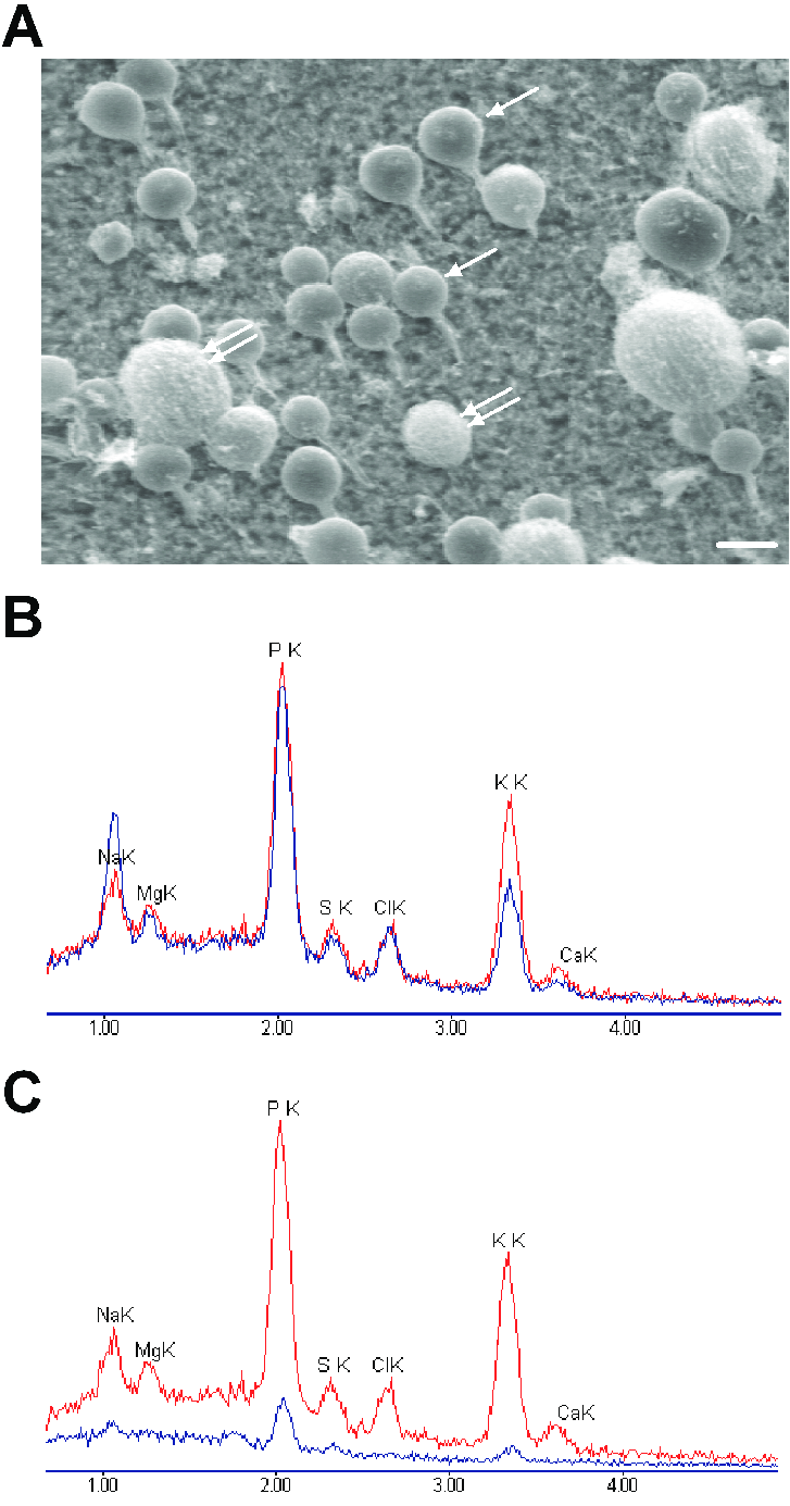 hight resolution of scanning electron micrograph a and x ray spectra b c