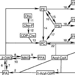 Pathways of phospholipid metabolism in somatic cells. Not