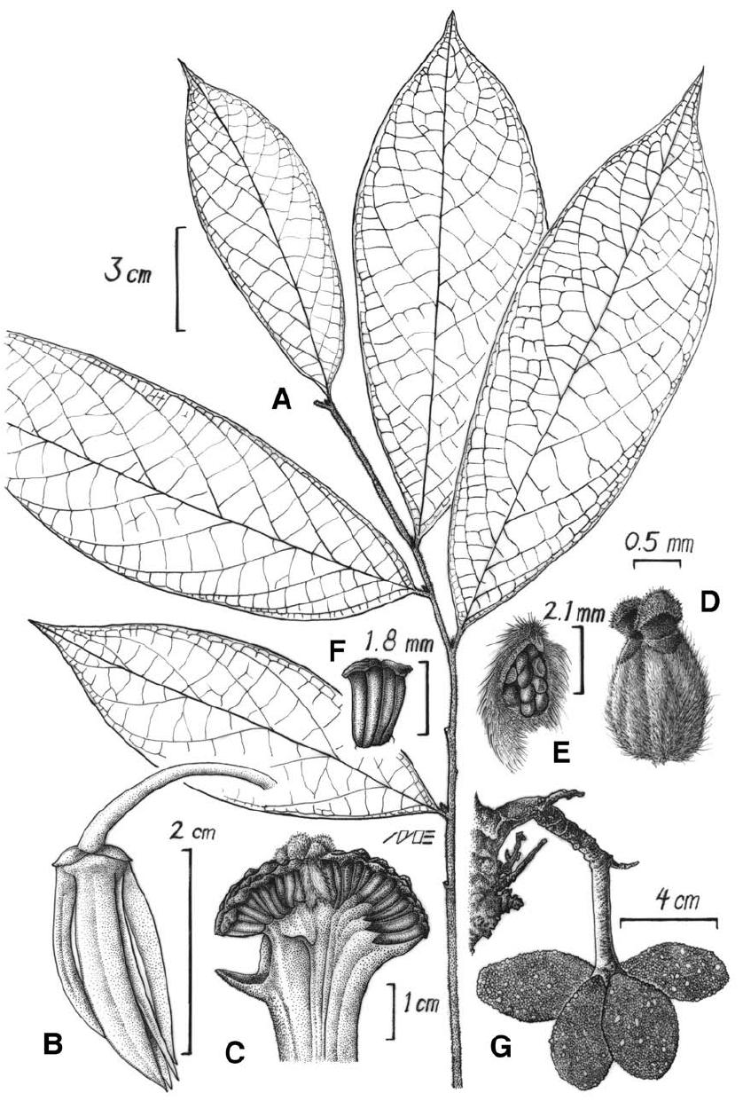 Stenanona migueliana Ortíz-Rodríguez & G.E.Schatz. A