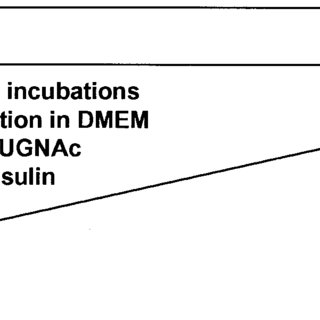 Schematic diagram of muscle incubation protocol. KHB