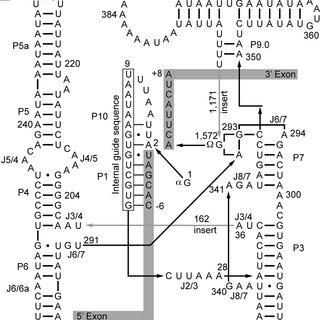 (PDF) Splicing of Yeast aI5β Group I Intron Requires SUV3