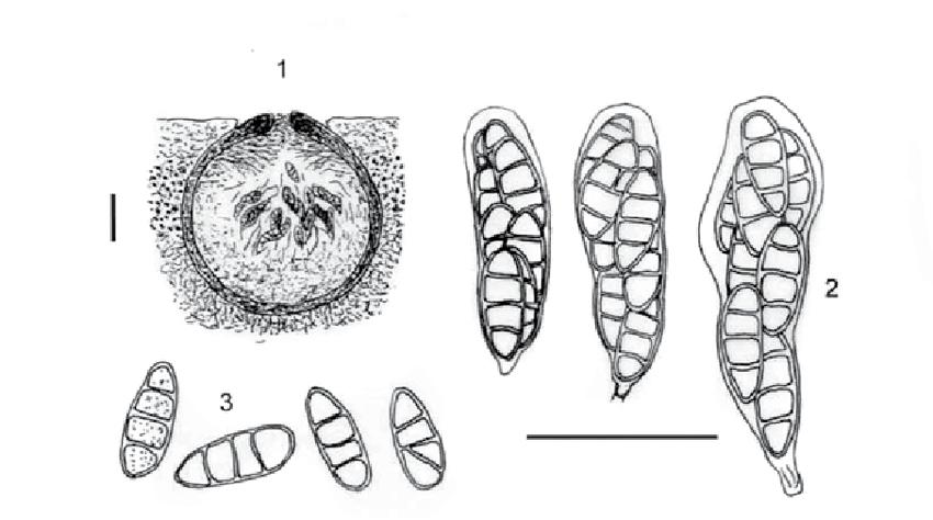 Notes on the genus Thelidium (Verrucariaceae, lichenized