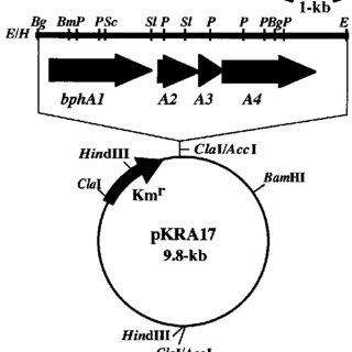The structure of pKRA17. The DNA fragment containing