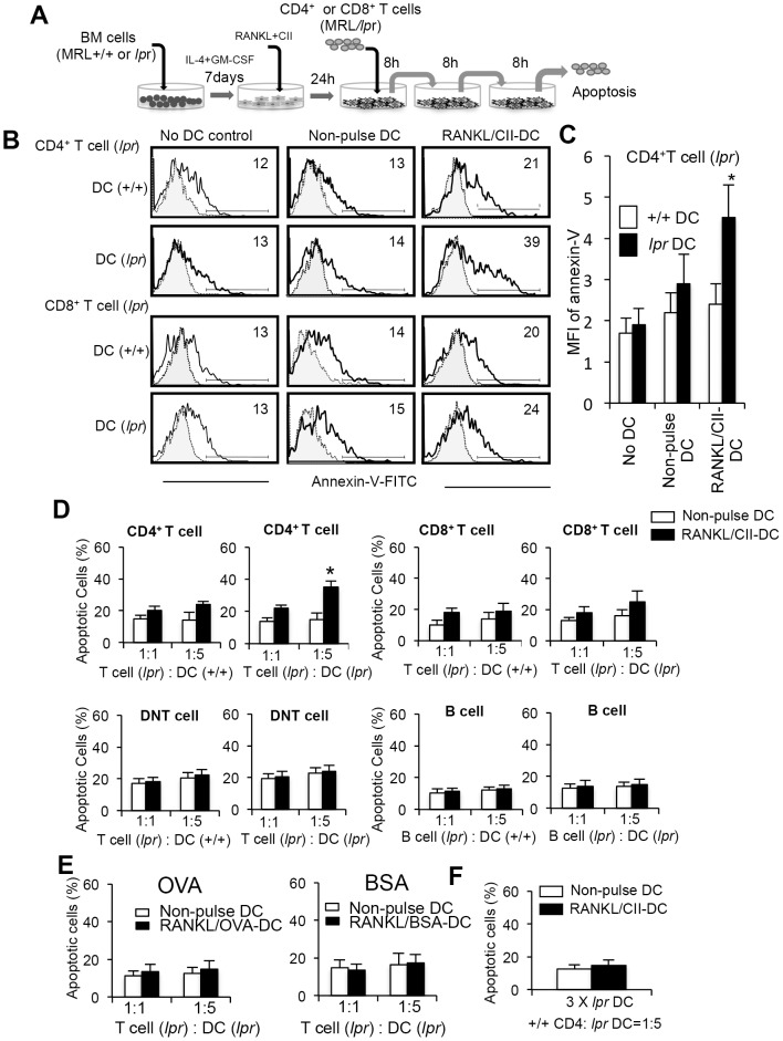 (A) Experimental protocol of T cell apoptosis by repeated