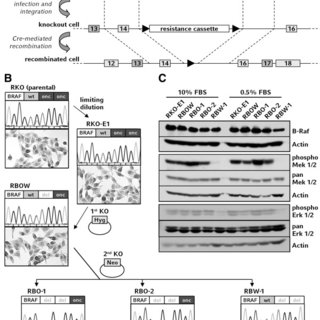 (PDF) Genetic targeting of B-RafV600E affects survival and