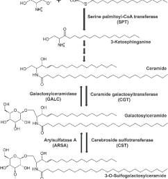 simple metabolic pathway of sulfatide metabolism the de novo synthesis of sphingolipids including sulfatides is [ 850 x 1003 Pixel ]