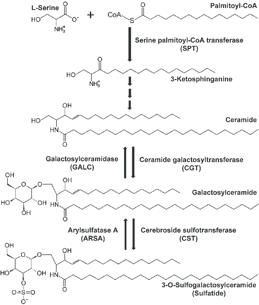 hight resolution of simple metabolic pathway of sulfatide metabolism the de novo synthesis of sphingolipids including sulfatides is